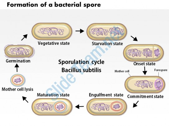 0614 Formation Of A Bacterial Spore By Bacillus Subtilis Medical.