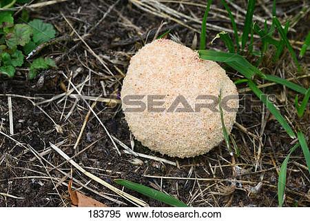 Stock Image of White Slime Mold (Fuligo septica var. candida) on.