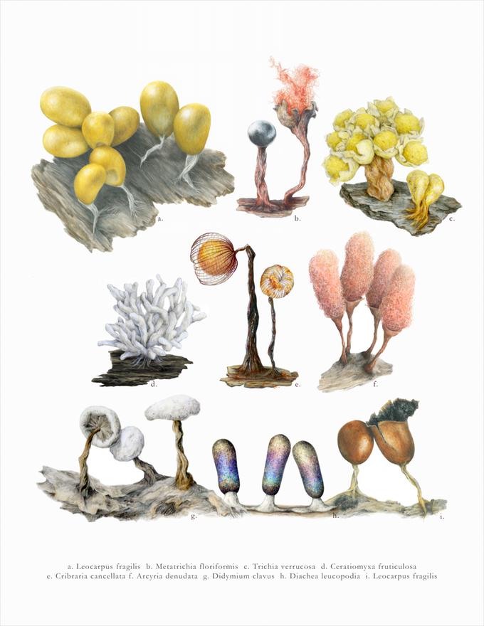 Slime Molds: An Illustrated Guide by Angela Mele — Kickstarter.