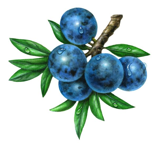 Sloes clipart - Clipground