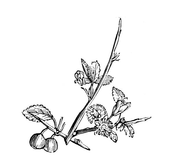 Silhouette Of The Sloe Berry Clip Art, Vector Images.
