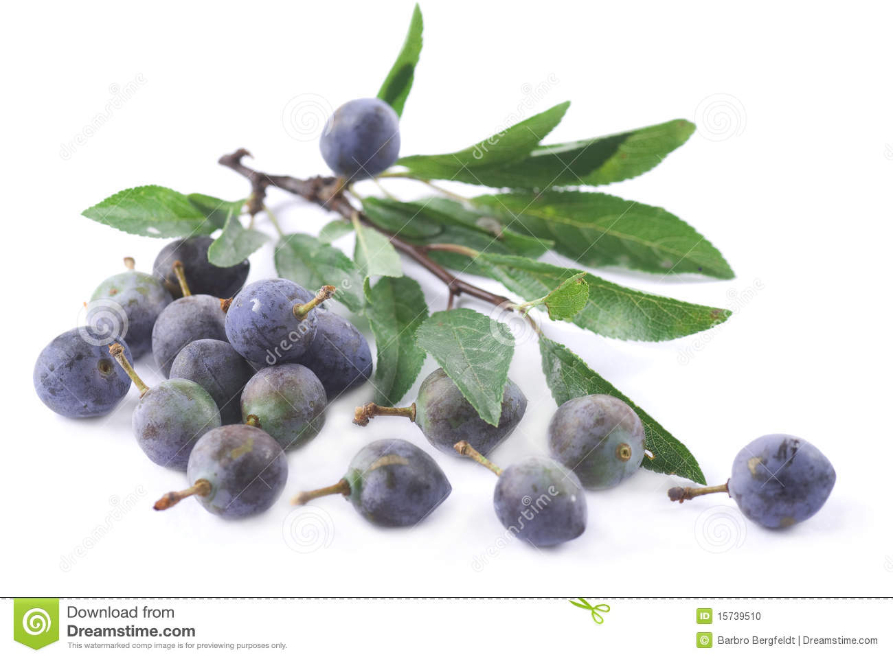 Sloe Stock Photo.