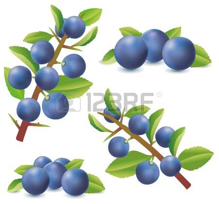 80 Sloe Stock Illustrations, Cliparts And Royalty Free Sloe Vectors.
