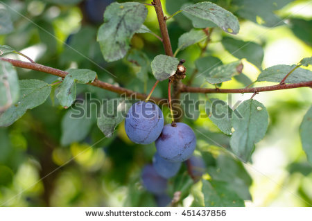 Blackthorn Tree Stock Photos, Royalty.