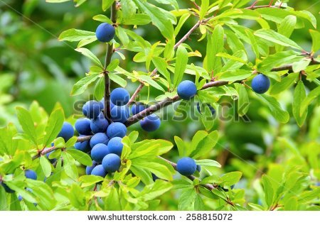 Sloe Trees Stock Photos, Royalty.