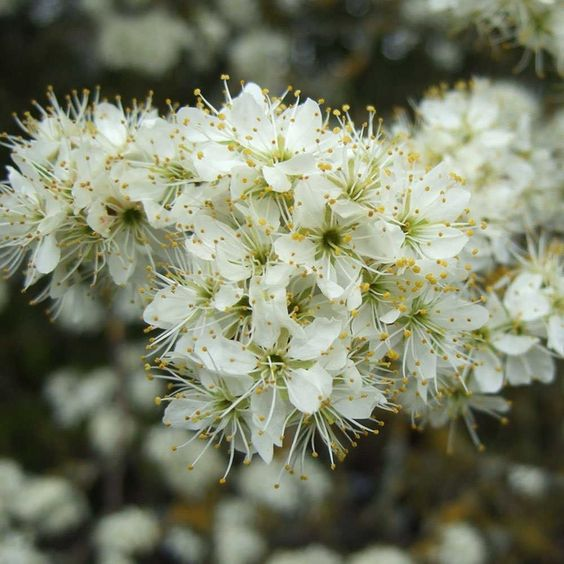 Blackthorn hedge plants.