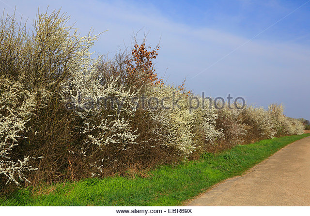 Deciduous Hedge Planting Stock Photos & Deciduous Hedge Planting.