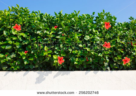 Hedge Flower Stock Photos, Royalty.