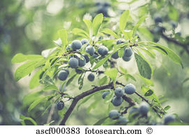 Sloes Stock Photos and Images. 722 sloes pictures and royalty free.