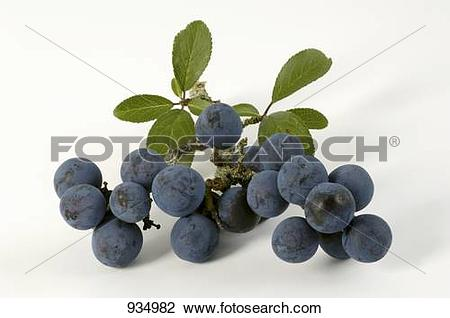Stock Photo of Sloes with leaves 934982.