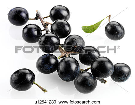 Stock Photograph of Sloe Berries u12541289.