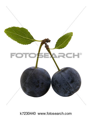 Stock Photography of berries of sloes with leaves k7230440.
