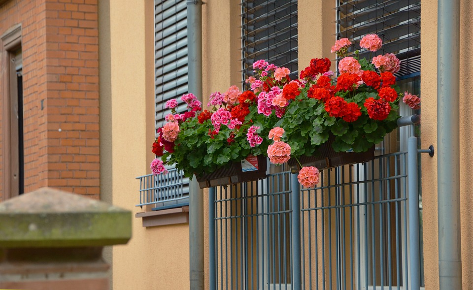Free photo: Balcony Plants, Geranium.