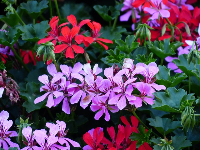 Free photo: Flowers, Geranium, Plant, Purple.