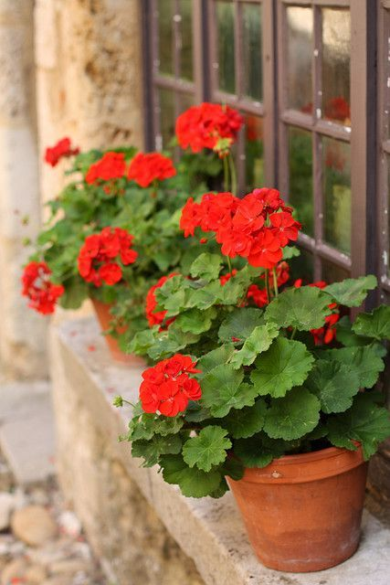 1000+ images about GERANIUM on Pinterest.