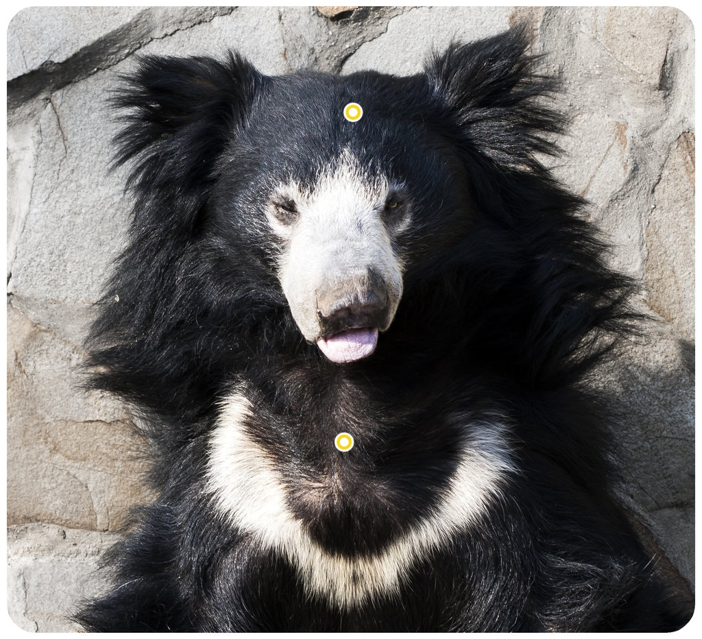 How humans effect the Sloth bear.