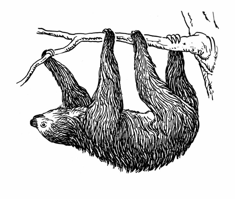 Sloth Bear Baby Sloth Cute Sloth My Spirit.