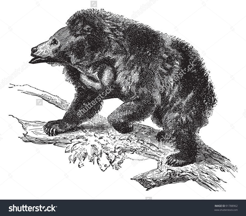 Sloth Bear (Ursus Ursinus) / Vintage Illustration From Meyers.