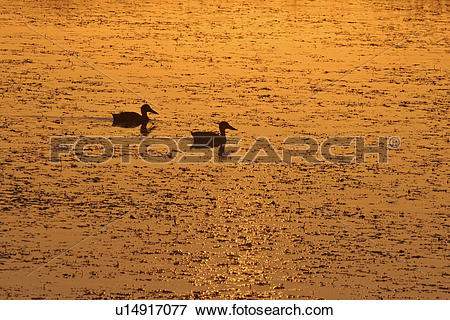 Picture of saskatchewan, slough, southern, scenic, sunset, ducks.