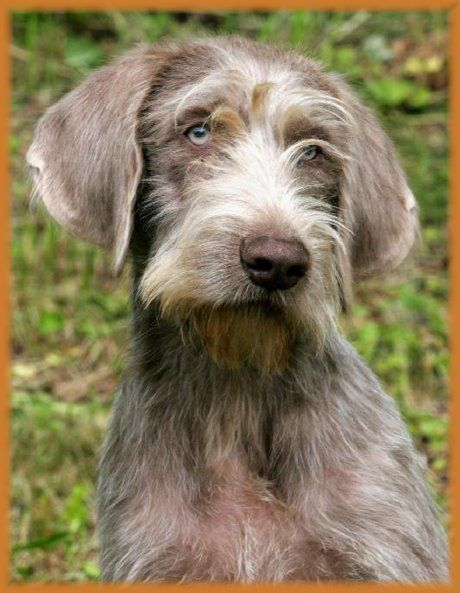 Slovakian Rough Haired Pointer Clipart.