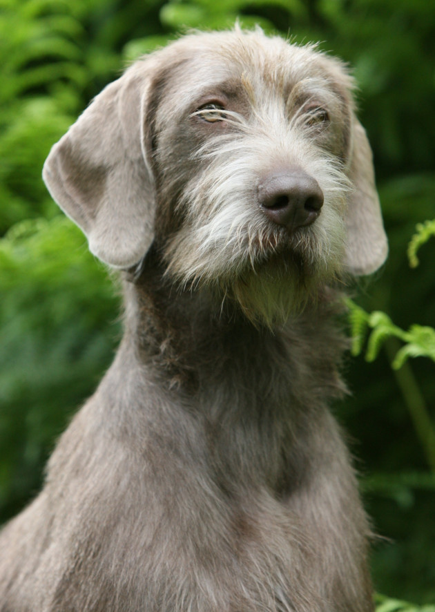 Wire Haired Weimaraner.