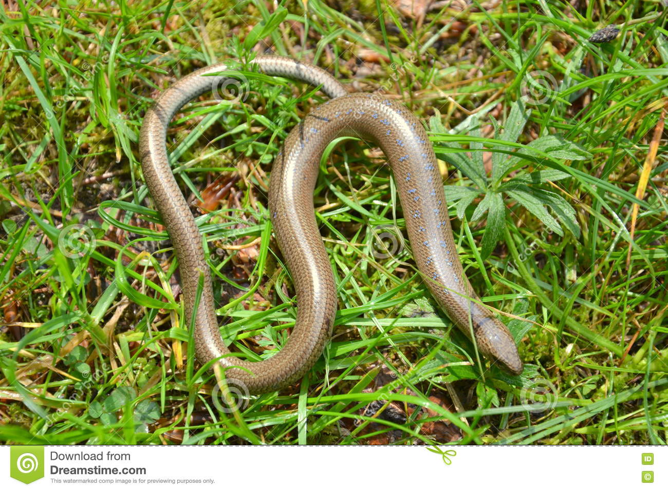 Slow Worm Stock Photos, Images, & Pictures.
