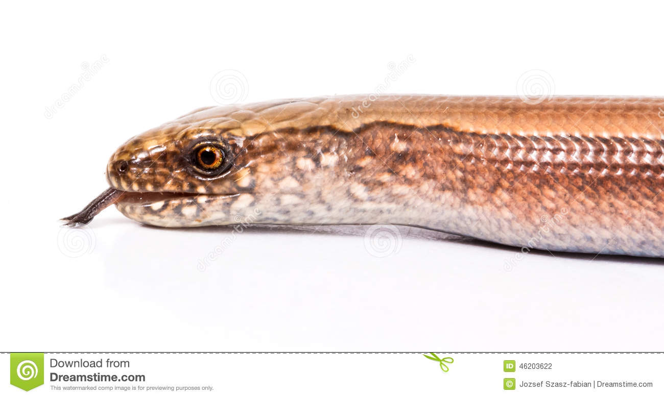 Slow Worm Or Legless Lizard Stock Photo.