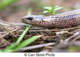 Picture of A juvenile Anguis fragilis, also known as a slow worm.