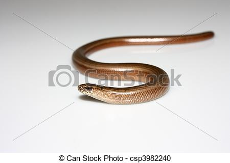 Stock Photography of Slow worm.
