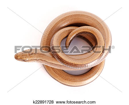 Pictures of Slow worm or legless lizard k22891728.