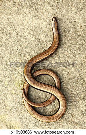 Stock Images of SLOW WORM x10503686.