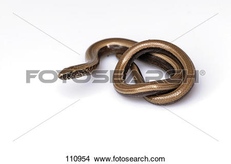 Stock Photo of lizard, slowworm, european.