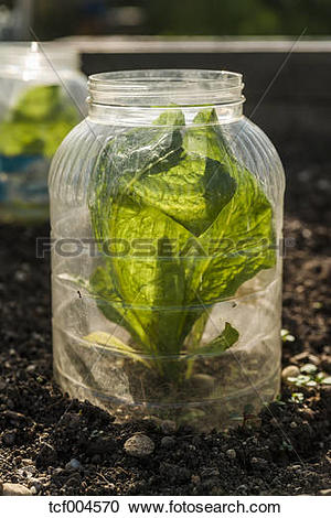Stock Photography of Young lettuce plant in glass shielded from.