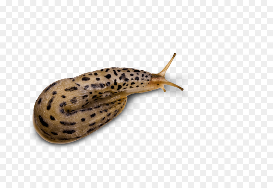Snail Cartoon png download.