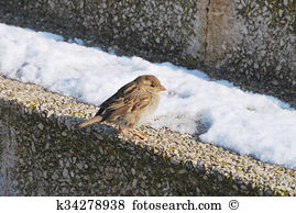 Accentor Images and Stock Photos. 62 accentor photography and.
