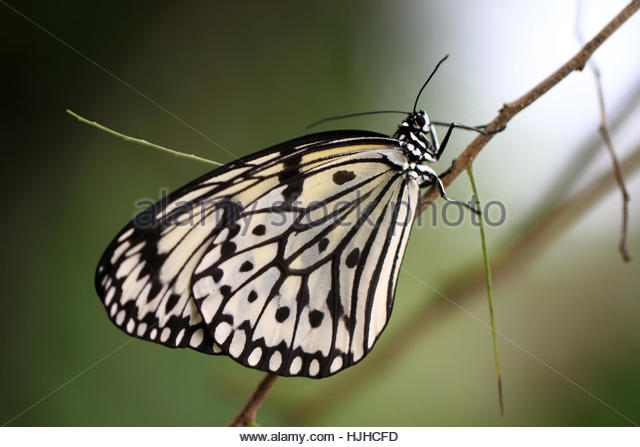 Butterfly Wing Stock Photos & Butterfly Wing Stock Images.