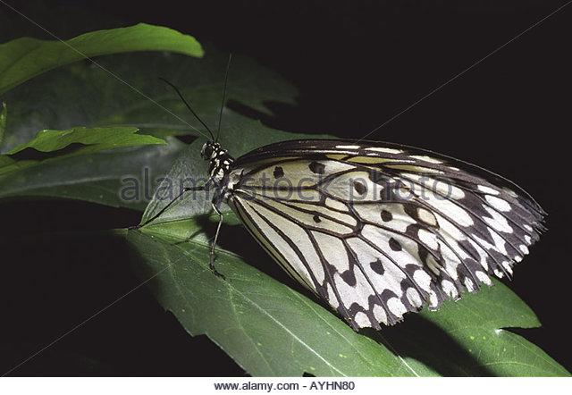 Bird Wing Butterflies Stock Photos & Bird Wing Butterflies Stock.