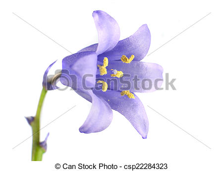 Stock Photo of Small Blue Bell Flower Isolated on White.