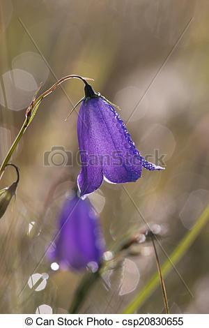 Stock Illustrations of Bell flower.