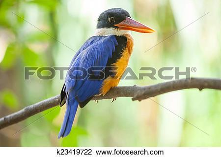Stock Photo of Beautiful blue Kingfisher bird k23419722.