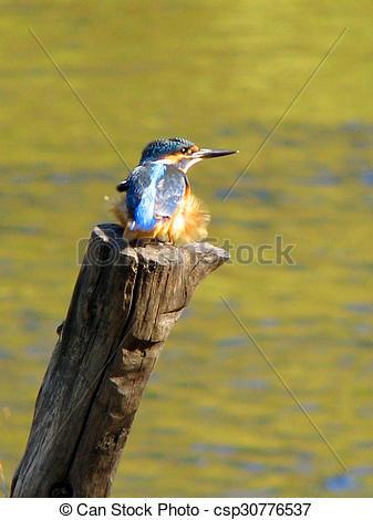 Drawings of Beautiful blue Kingfisher bird, male Common Kingfisher.