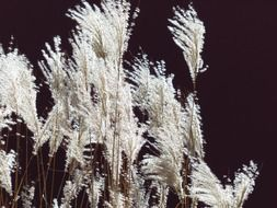 Miscanthus is a silver reed free image.