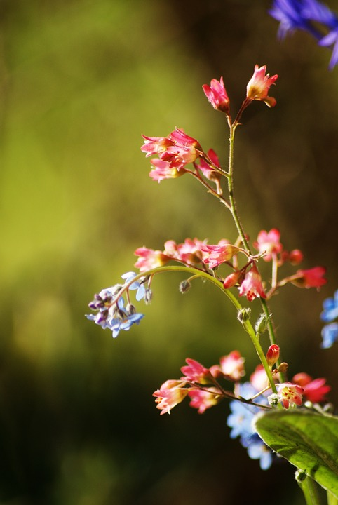 Free photo: Small Flower, Spring, Blue Flower.