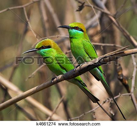 Stock Photo of Two Little Green Bee eaters. k4661274.
