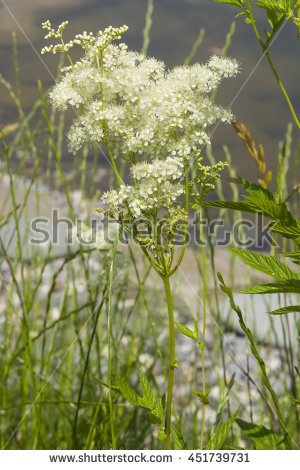 Meadowsweet Stock Photos, Royalty.