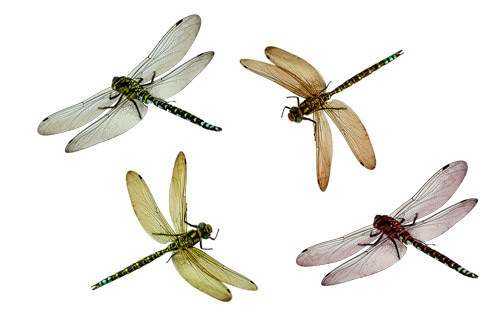 many types of dragonflies are there? Find out all about it in this.