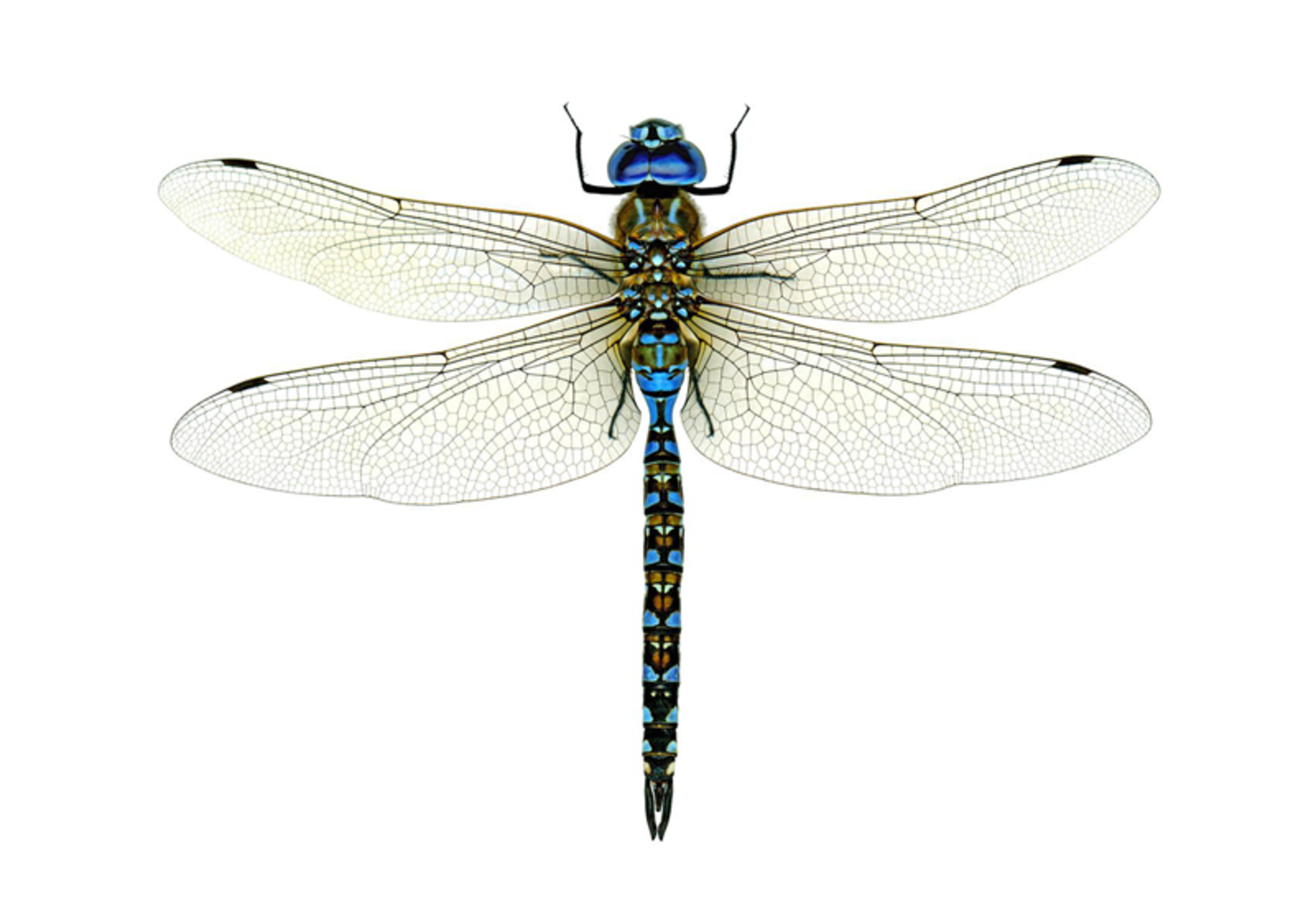 california dragonfly.