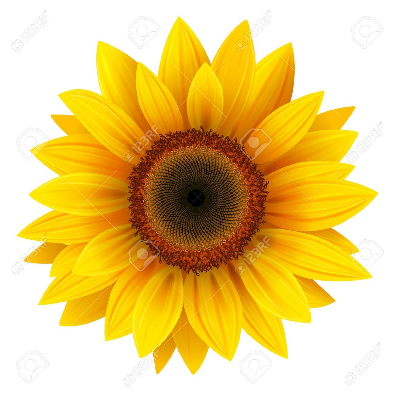 Sunflower Stock Photos, Pictures, Royalty Free Sunflower.