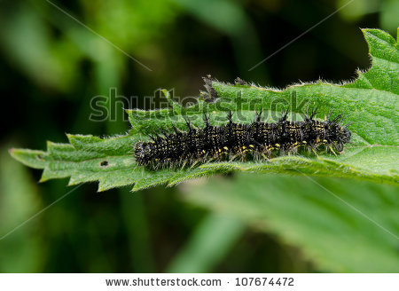 Small Tortoiseshell Butterfly Caterpillar Side View Stock Photo.
