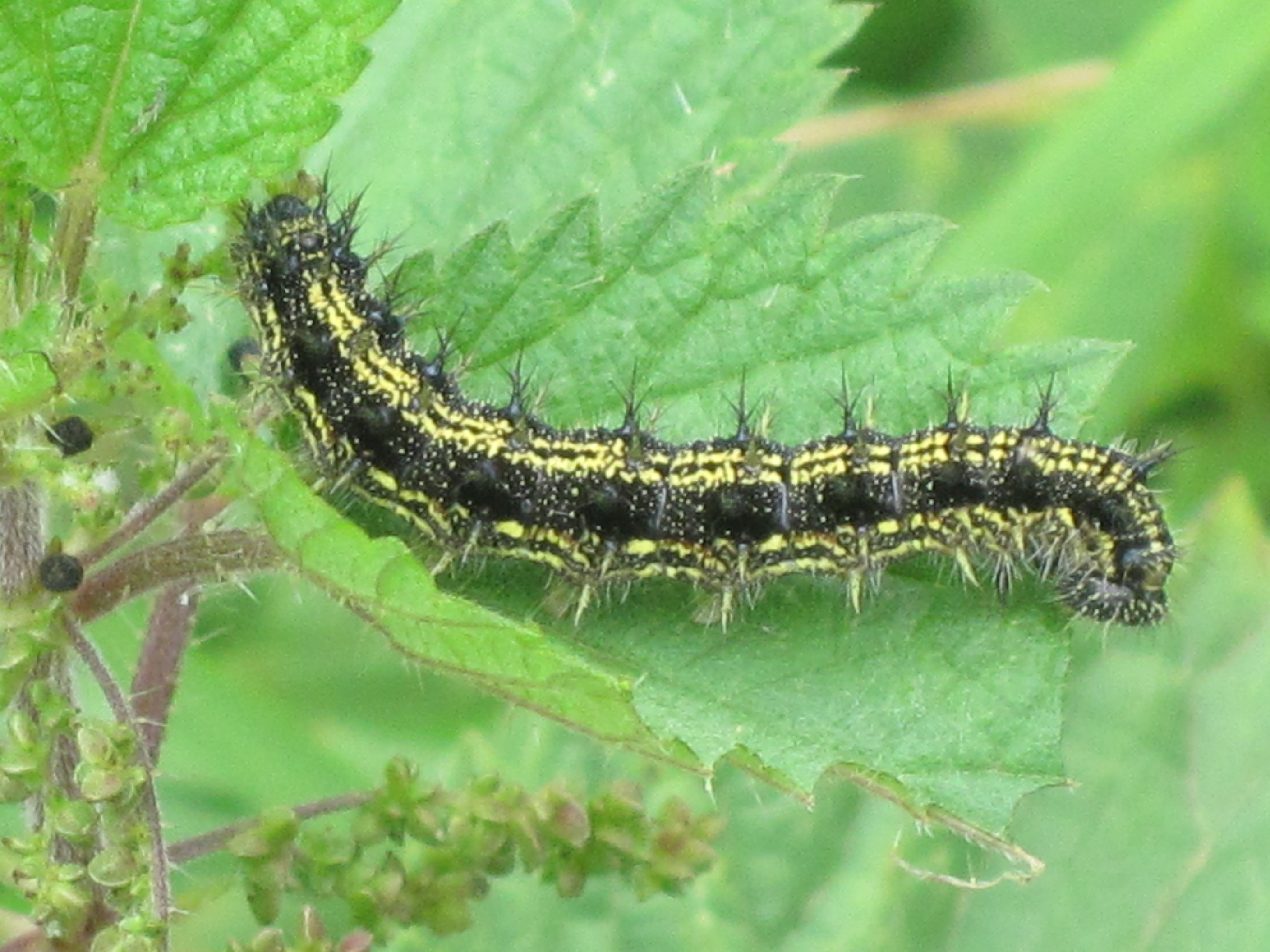 small tortoiseshell caterpillar.